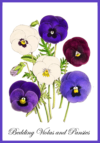 Bedding violas and pansies