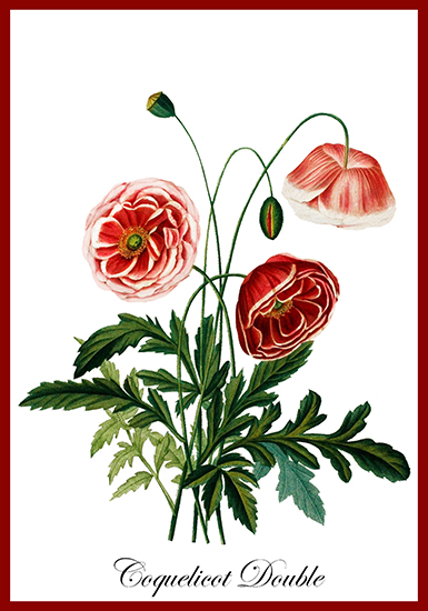 Coquelicot double flower card