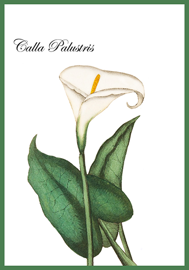 Call Palustris flower card