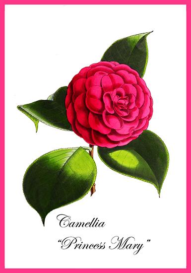 Camelia flower card