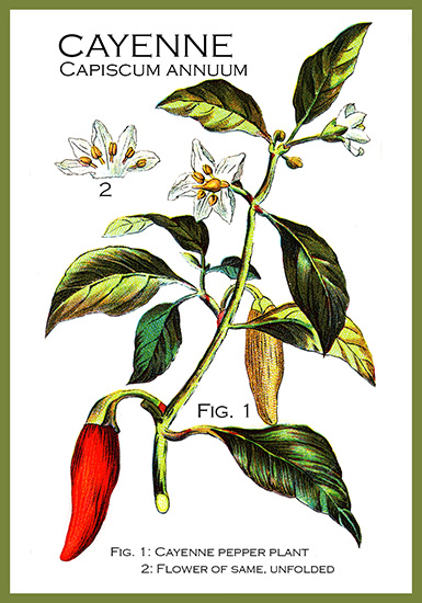 flower drawing of cayenne pepper