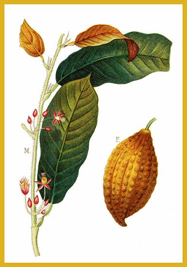 cocoa plant postcard