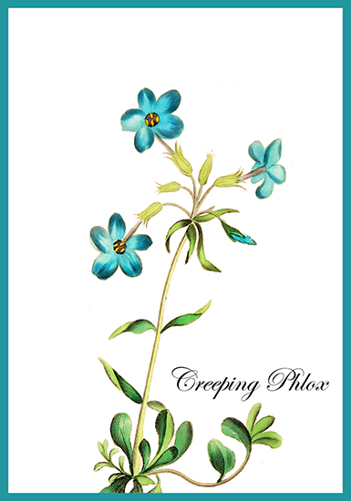 Creeping phox blue flower card