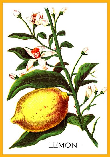 flower drawing lemon plant