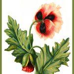Poppy drawing postcard