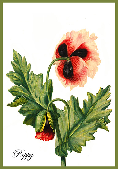 Poppy drawing postcard