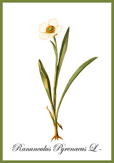 Ranunculus pyrenaeus card