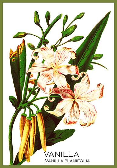 vanilla plant postcard