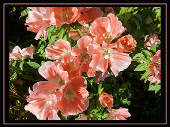 birthday-card-with-pink-flowers-Clarkia-small